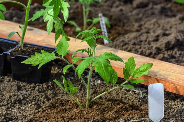 Высаживать томаты желательно в вечерние часы, постарайтесь выбрать пасмурные дни