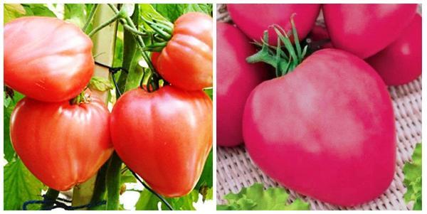 Томат Бычье сердце розовое. Фото с сайта plodovie.ru. Томат Бычье сердце малиновое. Фото с сайта 1semena.ru