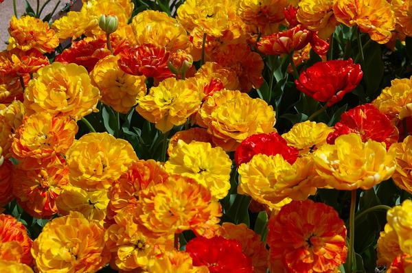 Махровые тюльпаны очень похожи на пионы, фото автора