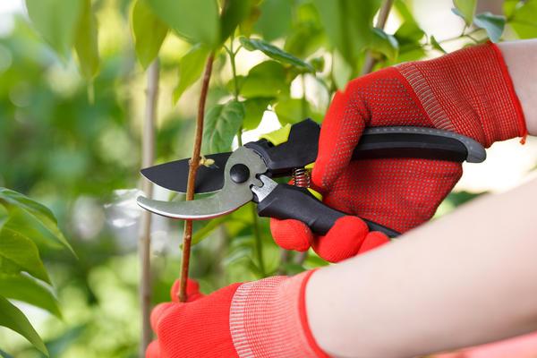 В садовом хозяйстве без секатора как без рук