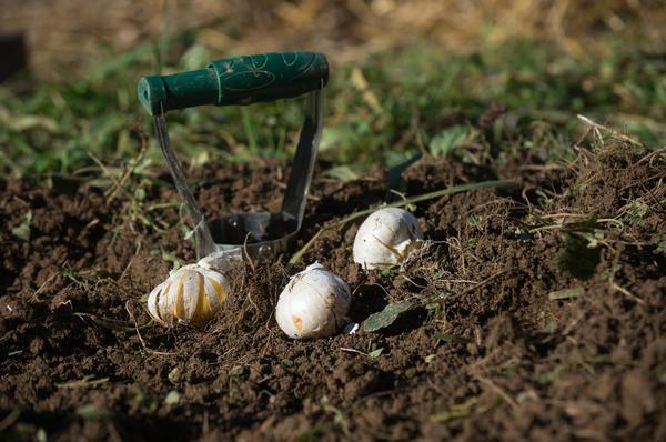 Все луковичные, в том числе чеснок и даже лук, быстрее и удобнее сажать при помощи конуса