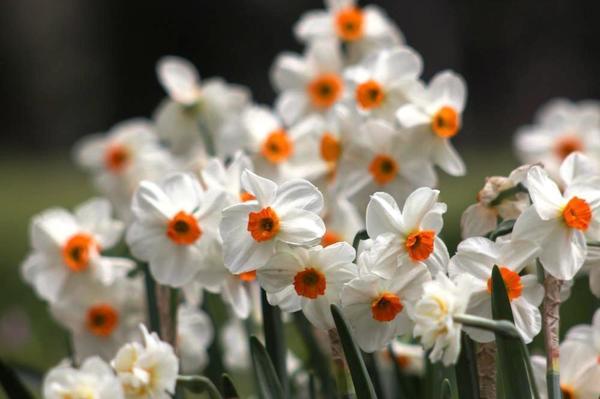 Цветут нарциссы, фото автора