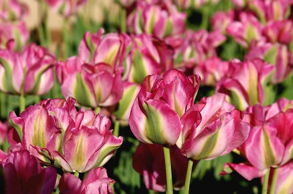 Тюльпан садовый сорт Virichic, фото автора