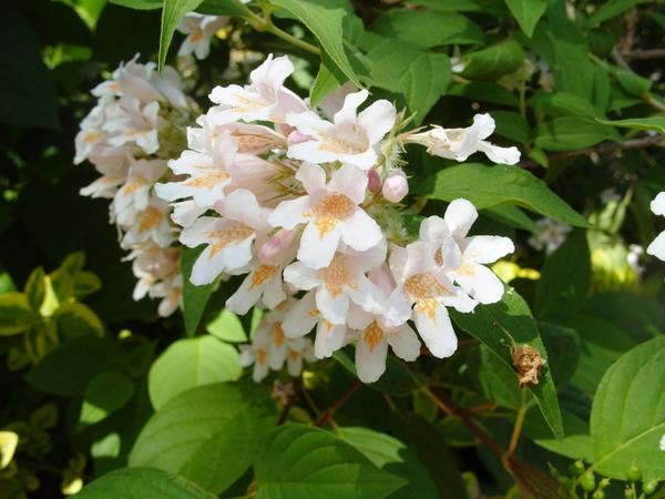 Кольквиция прелестная, красавица из Хубэя, фото автора