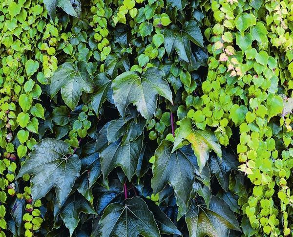 Девичий виноград (на фото сорт Veitchii) с трехлопастными листьями, которые осенью окрашиваются в ярко-красный цвет, растет очень быстро