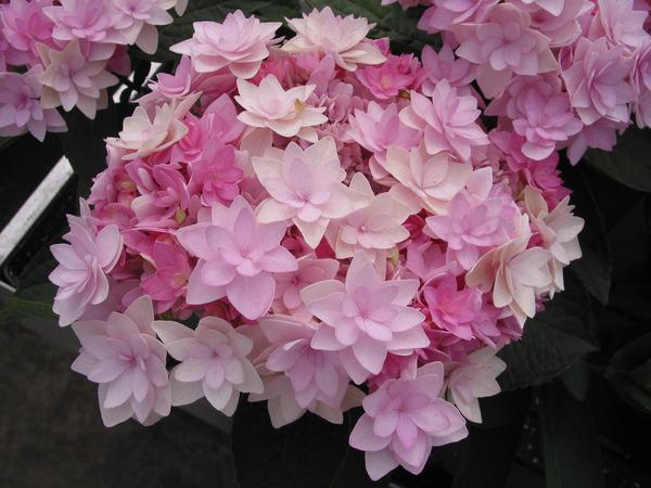 Соцветие гортензии крупнолистной Passion. Фото с сайта planthaven.com