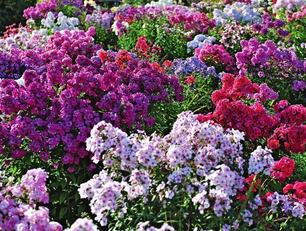 Название этого необычайно декоративного нежного цветка переводится с греческого как пламя