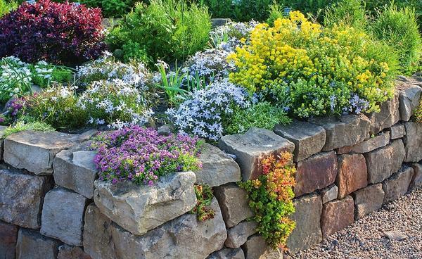 В приподнятом цветнике со стенками сухой кладки органично смотрятся подушковидные растения, например флокс шиловидный и бурачок. В швах между камнями можно посадить молодило и подобные ему растения