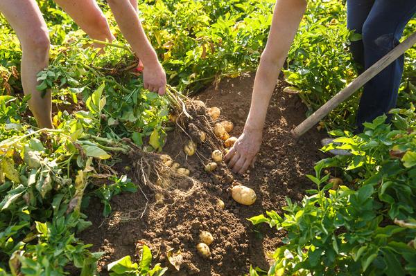 С хорошей лопатой и картофель копать приятнее