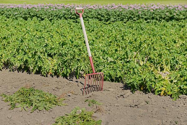 Вилы для щебенки могут быть полезны и на картофельном поле