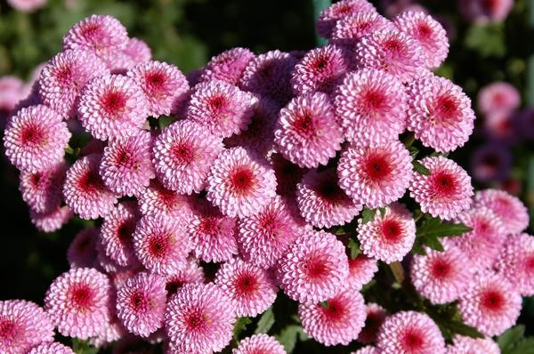 Сорт-новинка этого года 'Calimero Pink', фото автора