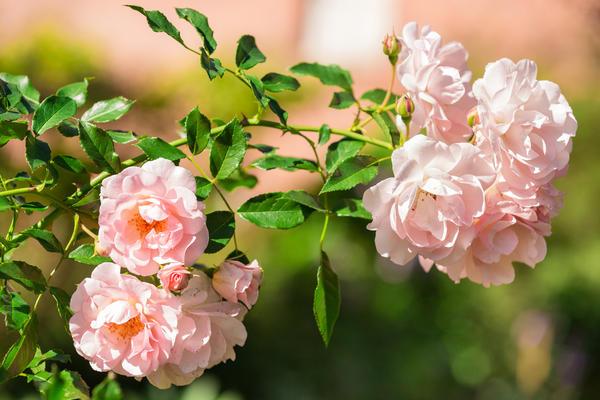 Канадские розы отличаются высокой зимостойкостью