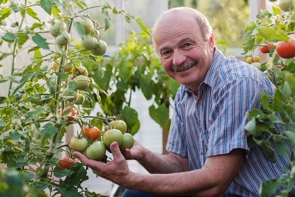 Как выбрать сорта и гибриды томатов, чтобы в конце сезона не было мучительно больно за потраченное время