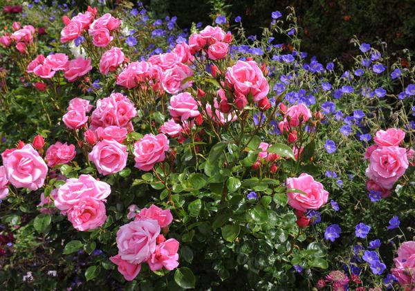 Прекрасный розарий - мечта многих садоводов, но путь к нему редко обходится без ошибок