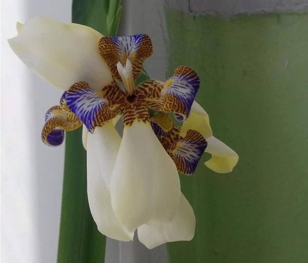 Так цветет неомарика, или шагающий ирис