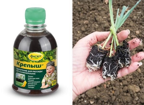 Крепыш помогает рассаде наращивать мощную корневую систему