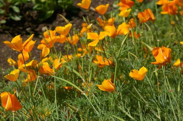 Цветет эшшольция калифорнийская в июле