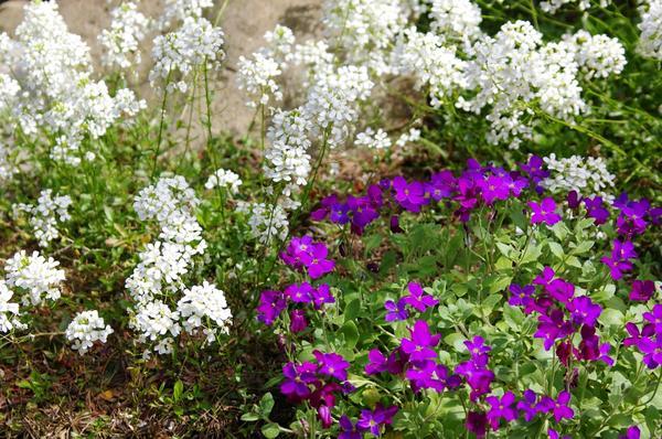 Крылотычинник крупноцветковый и обриета дельтовидная — неприхотливая прекрасная пара для каменистых садов. Фото автора