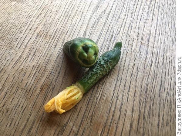 Огурцы странной формы в теплице