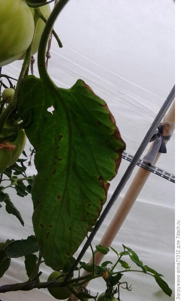 листок из теплички,что за кайма на всех листьях?