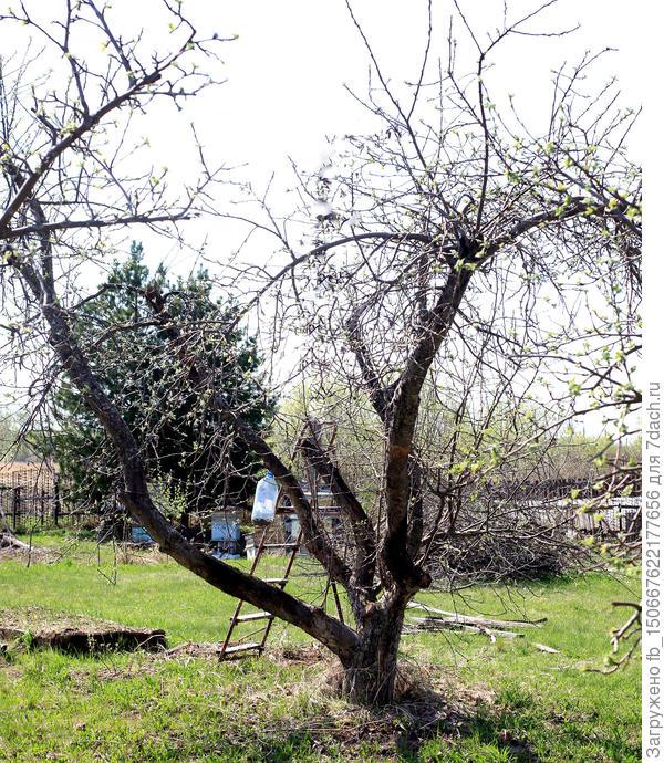 старая яблоня ~ 20 лет опыт лечения