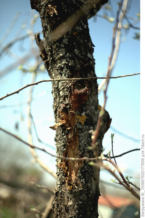кора отваливается, гусеницы хорошо поели яблоню, множество отверстий-ходов гусениц