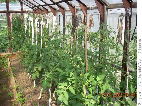 Мои помидорки в старых теплицах, эх зря я их заменила на карбонат)))