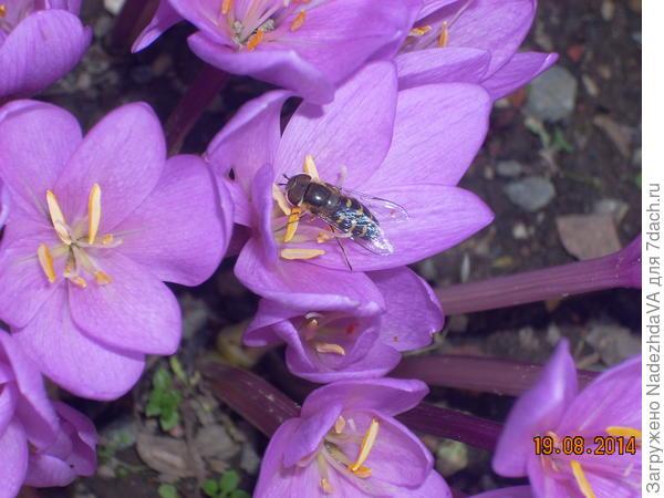 Безвременник и пчёлка