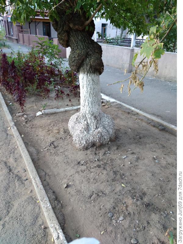 Наросты или вздутия на дереве.