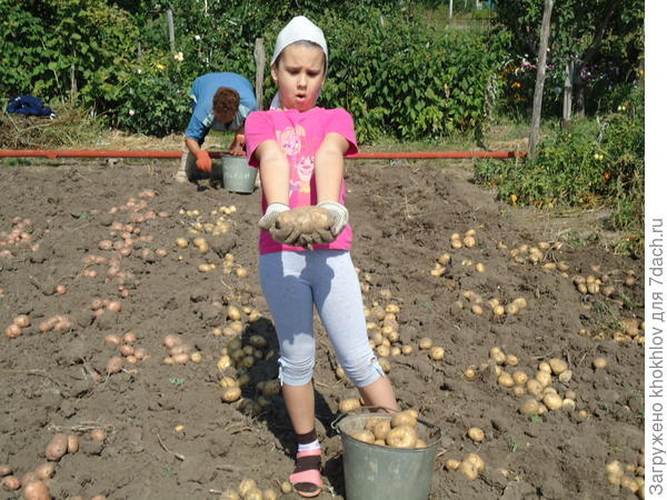 вот такой урожай картофеля мы собираем!