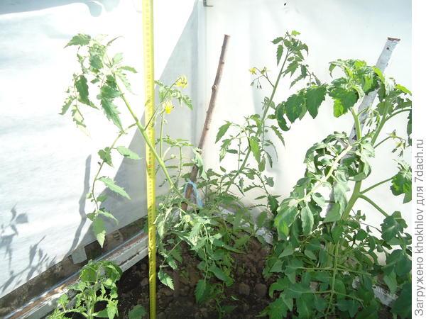 Куст инков растет рядом с кустом лирики.У  них совершенно разная форма и тем интереснее смотрятся рядом.Цветочные кисти на инках образуются через 3 листа и листья более изящные чем на лирике.Возможно поэтому кажется голенастой.
