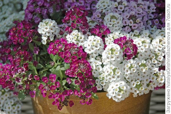 Алиссум- до морозов цветет и благоухает.