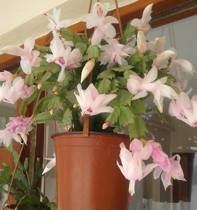 Так цветет сейчас мой бело-розовый Декабрист, а рядом с красными бутонами
