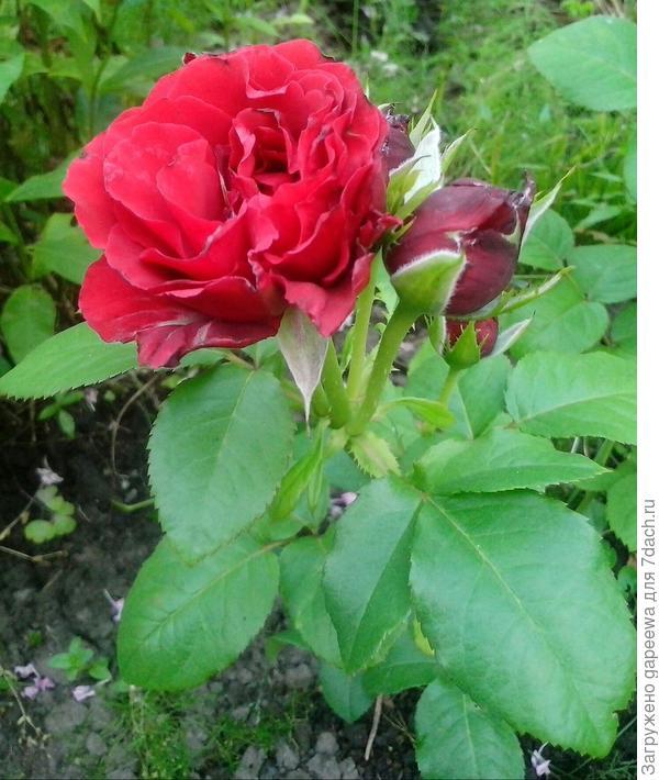 Роза в прошлом году