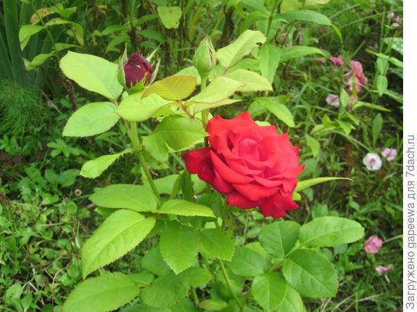 Это роза расцветает нынче