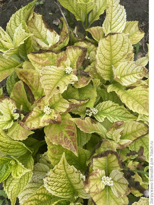 Листья гортензии изменили цвет, на них появляются пятна. Что происходит с гортензией?