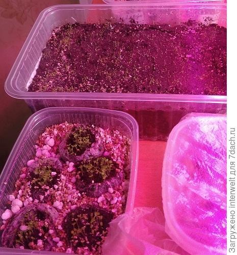 Лобелия в грунте и в торфяных таблетках - тот же сорт, посеяно в одно время