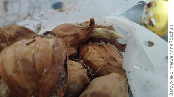 Луковицы ирисов с тлей или чем-то подобным...