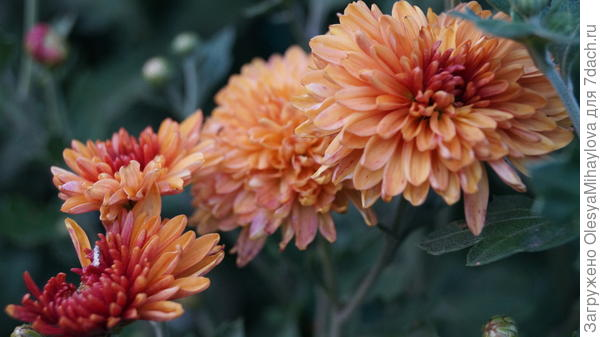 Ее хризантемы