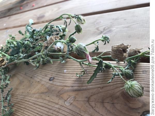 Что за растение