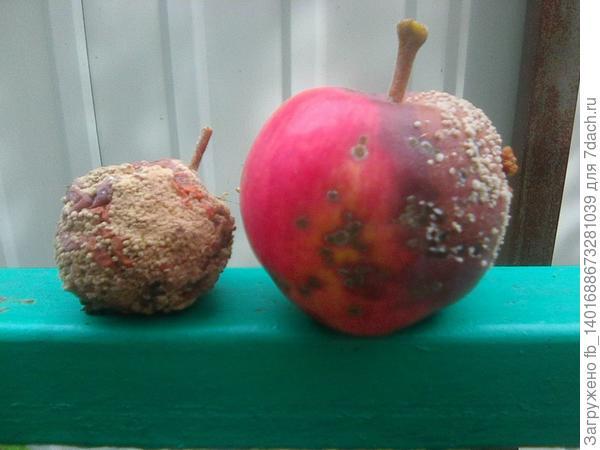 Яблоки Жигулевские