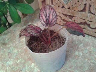 как зовут росточек  листочки меняют цвет,если солнышко светит они бордовые,а в пасмурную погоду зеленеют
