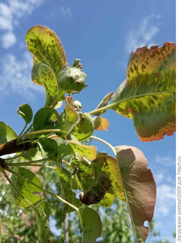 Почему у груши поражены листья на кончиках ветвей?