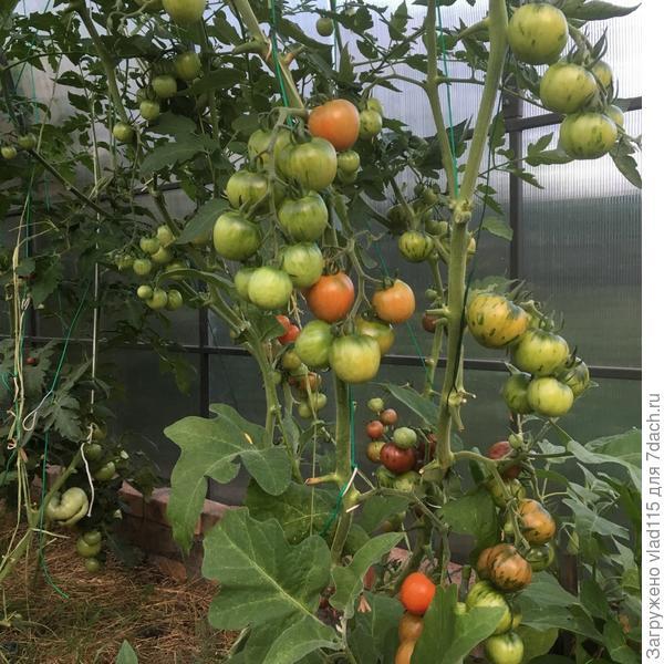 А это подвязка среднеплодных помидор-ее осуществляю капроновыми или  полиамидными веревочками.