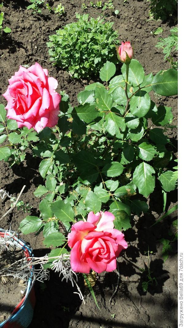 а еще я посадила розы