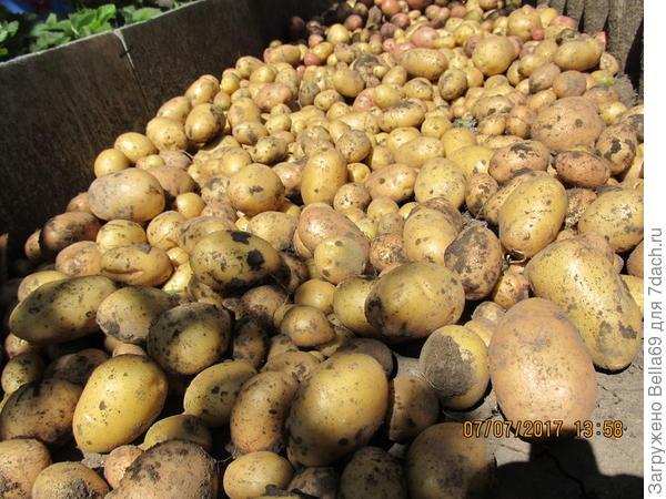 Картошка выросла сама по себе) она не цвела,ее не брызгали и жуков тоже не было