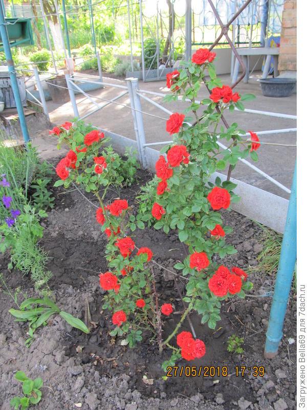 Первое буйное цветение плетистой розы