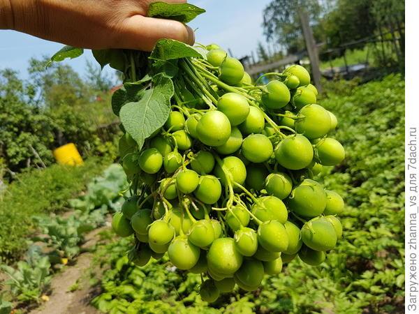 Ботанические семена картошки