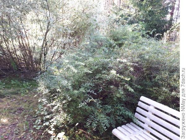 Кустарник с узкими листочками и тонкими веточками