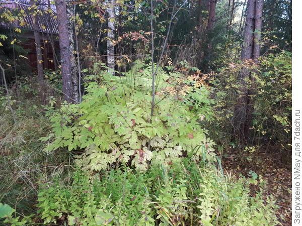 Куст с однолетними побегами и большими резными листьями
